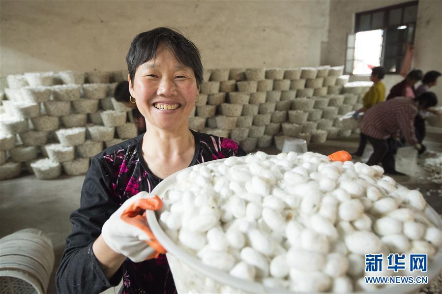 新华社发(徐劲柏 摄) 近年来,江苏省海安县不断发展壮大蚕桑茧丝绸