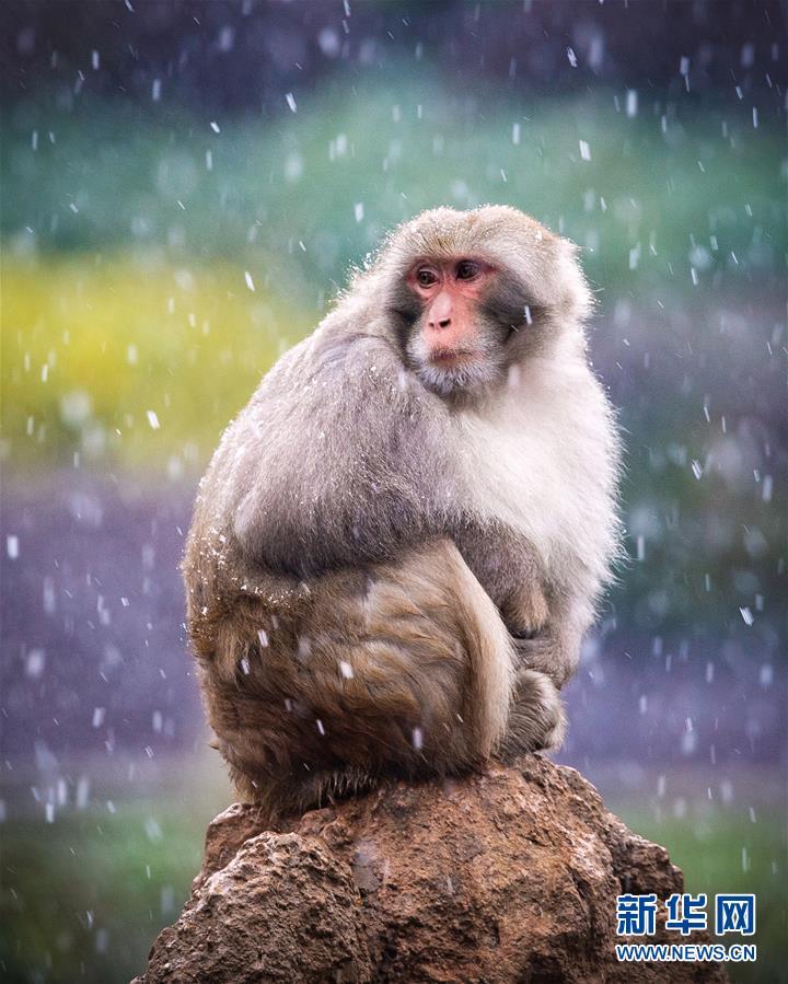 在南京红山森林动物园猴山上,猕猴迎风戏雪,自得其乐.