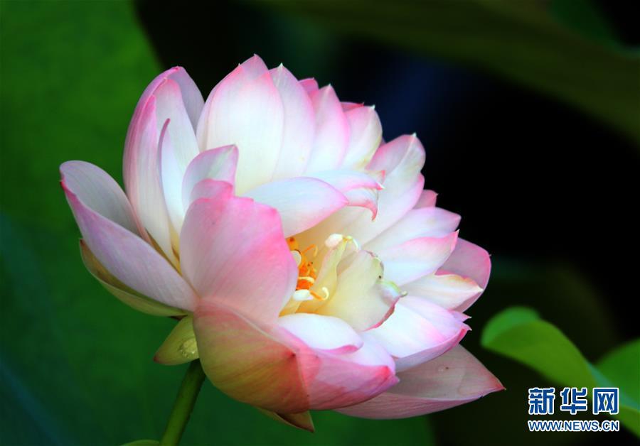 #(新华视界)(6)安徽黄山:初夏荷花别样美
