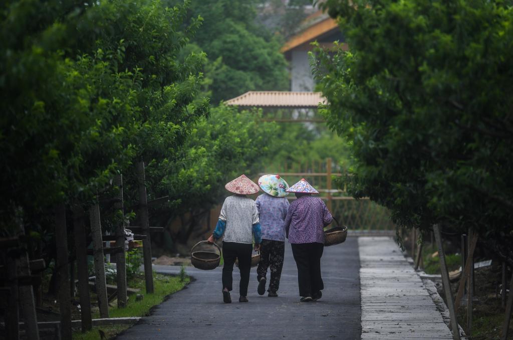 浙江桐乡:槜李果园迎丰收 美丽乡村迎客来