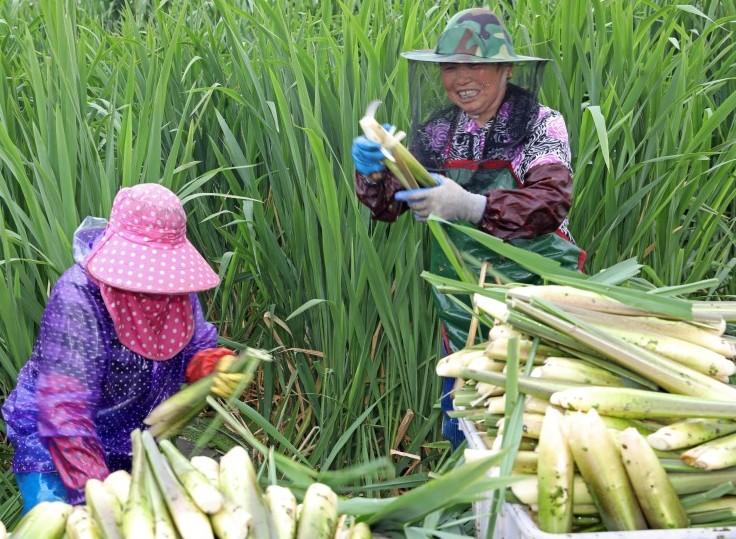 江苏扬州:茭白丰收畅销 助农增收