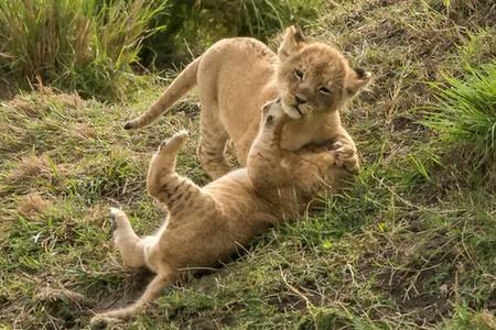 兩獅崽打架 揮拳相向軟萌可愛