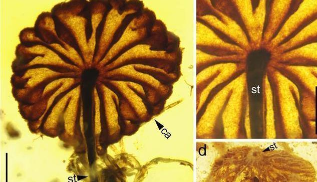 科學家發現迄今最古老的完整蘑菇化石