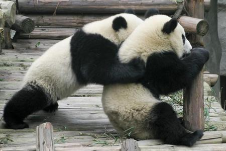 大熊貓繁育研究基地:國寶樂園
