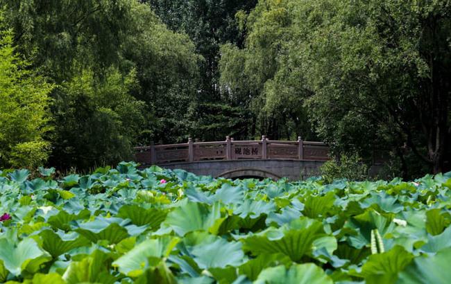 炎炎夏日荷风送爽 航拍上海顾村公园300亩荷塘美景