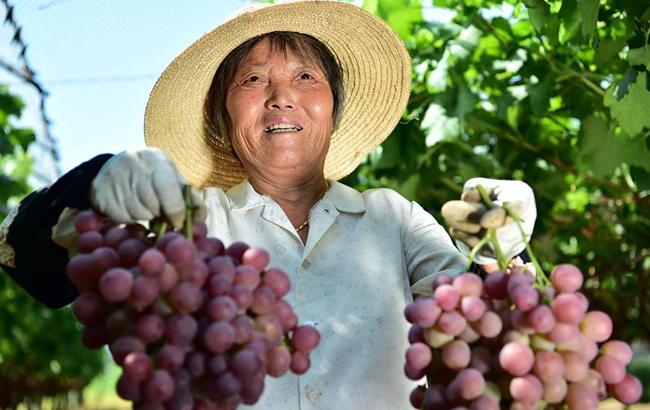 """安徽:""""红提经济""""富农家"""