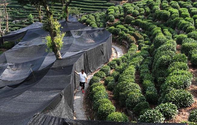 浙江:持续晴热少雨 龙井茶园加盖防晒网