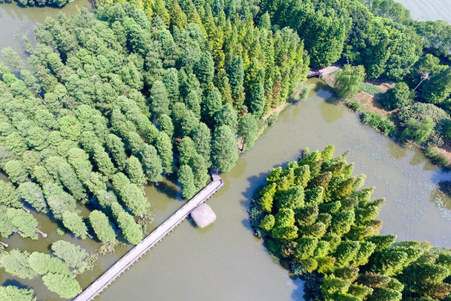航拍上海青西郊野公园 60亩水上森林池杉奇观
