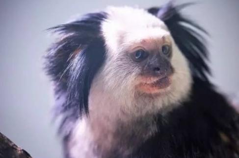 """上海动物园添新成员!萌猴""""杰氏狨""""首次展出"""