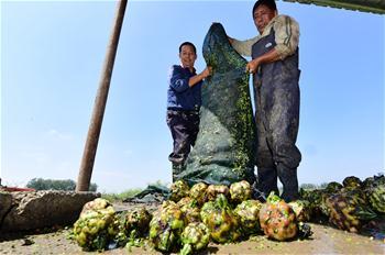 江苏金湖:特色农业助农增收