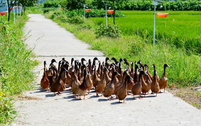 """江苏海安:稻田用上""""鸭管家"""" 生态种养效益高"""