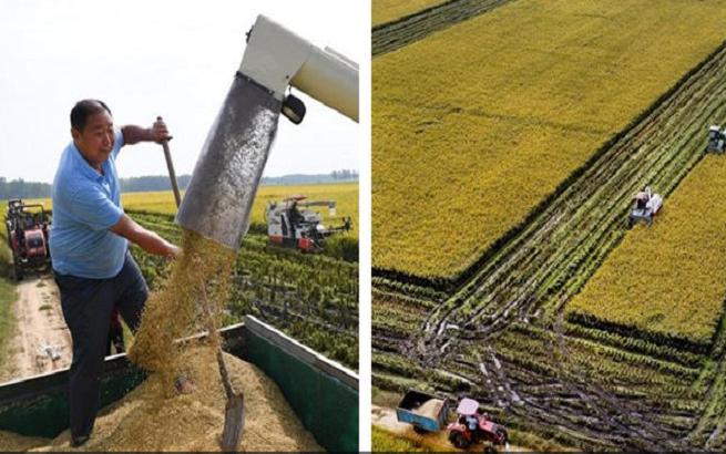 种粮大户的水稻丰收季