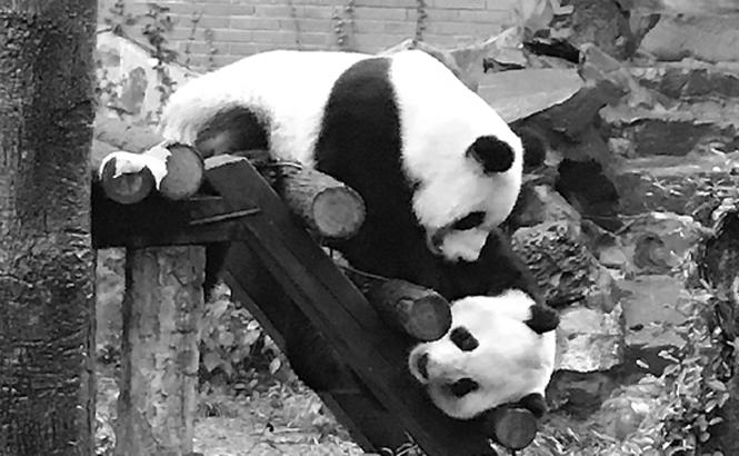 杭州熊猫史:42年来过12只熊猫