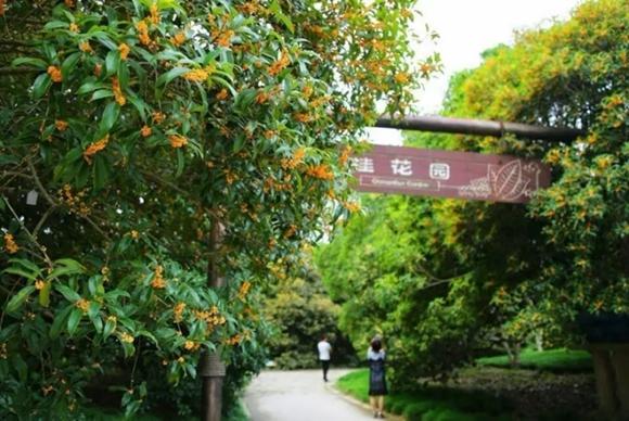 2017版上海赏桂攻略 带你走进桂香满城的秋
