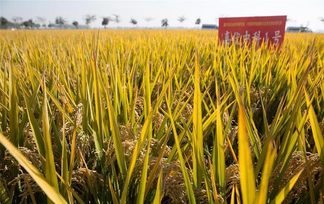 """我国""""分子模块设计""""育种水稻完成实收测产"""