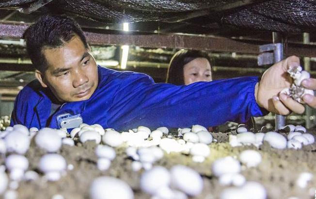 江蘇海安:小蘑菇種出大效益