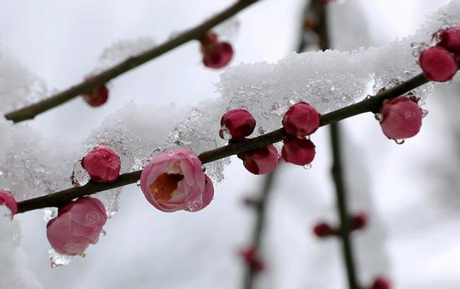 上海:踏雪赏梅