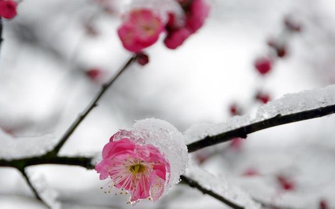 红梅傲雪喜迎春