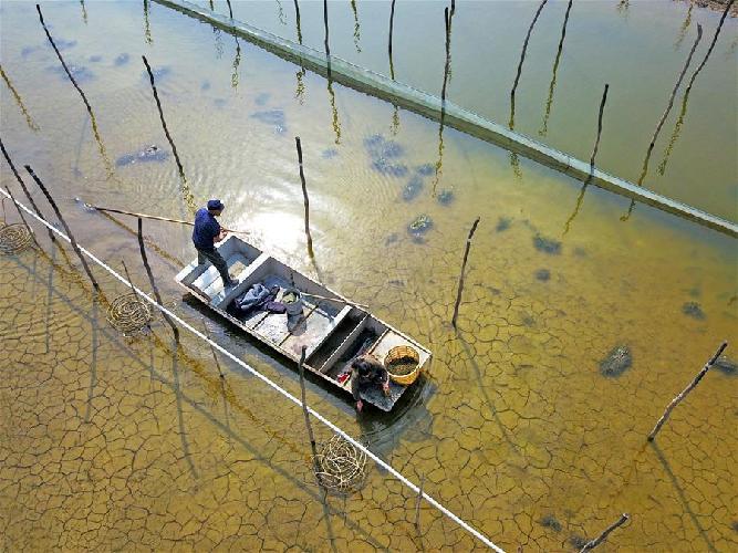 江蘇泗洪:蟹塘栽種水草忙