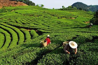 安徽推动茶产业提质增效 到2020年绿色茶园达60万亩