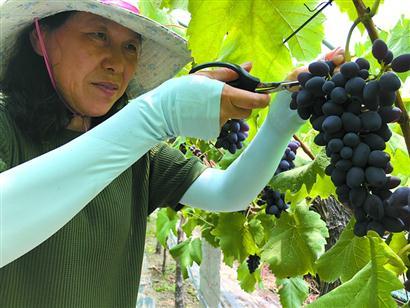 首批上海本土葡萄品种育成推广