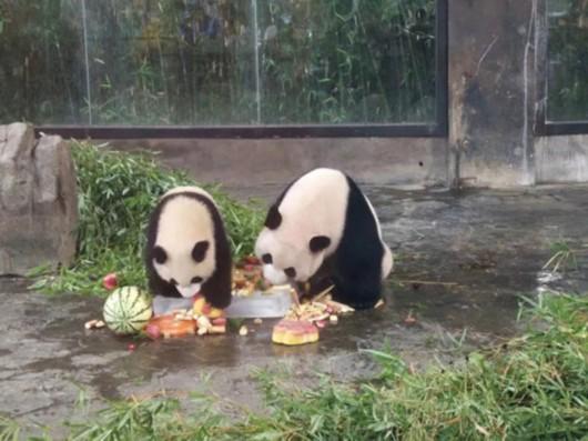 上海野生动物园大熊猫思雪迎来特别的12岁生日