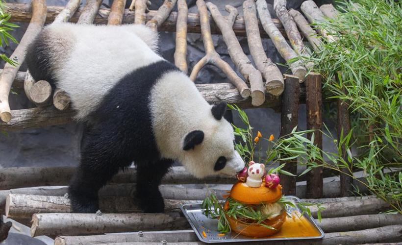 """南京:大熊貓""""和和""""""""九九""""迎來三周歲生日"""
