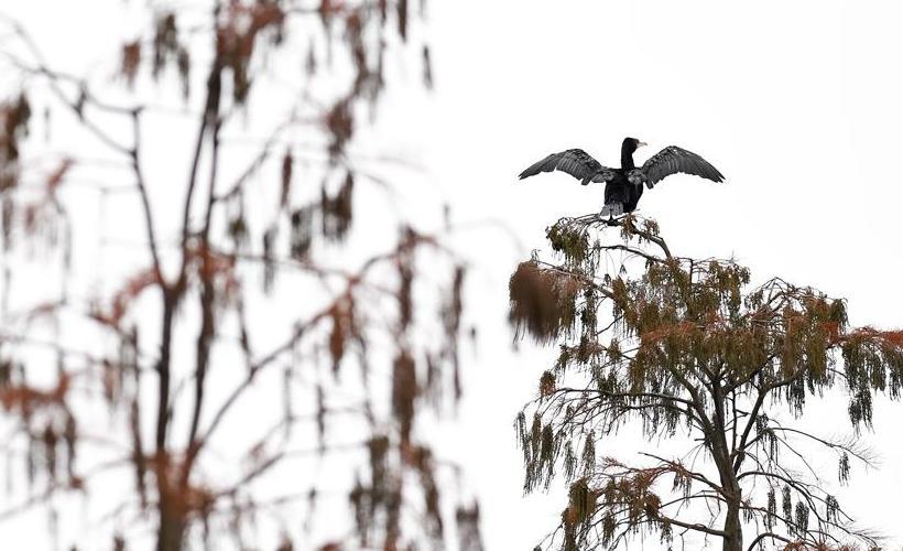 安徽:池杉魅影 鸟类天堂