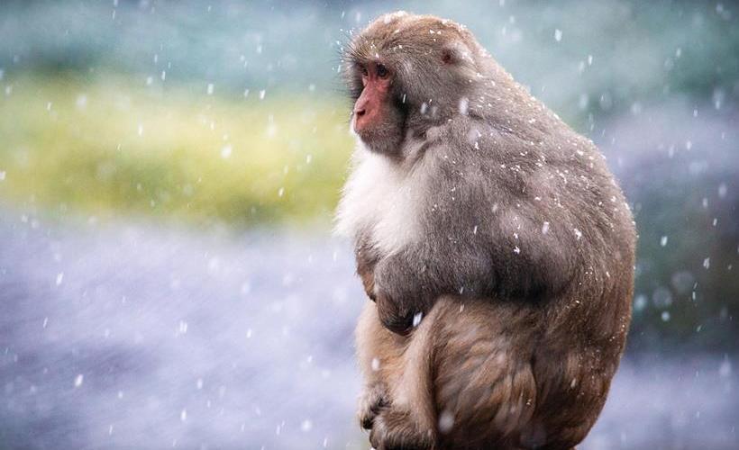 南京:猕猴赏雪
