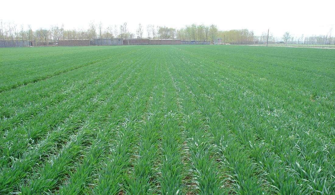 全省小麦进入起身至拔节期