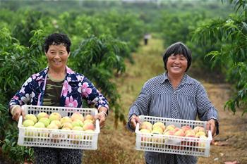 安徽明光:水蜜桃种植助力乡村振兴