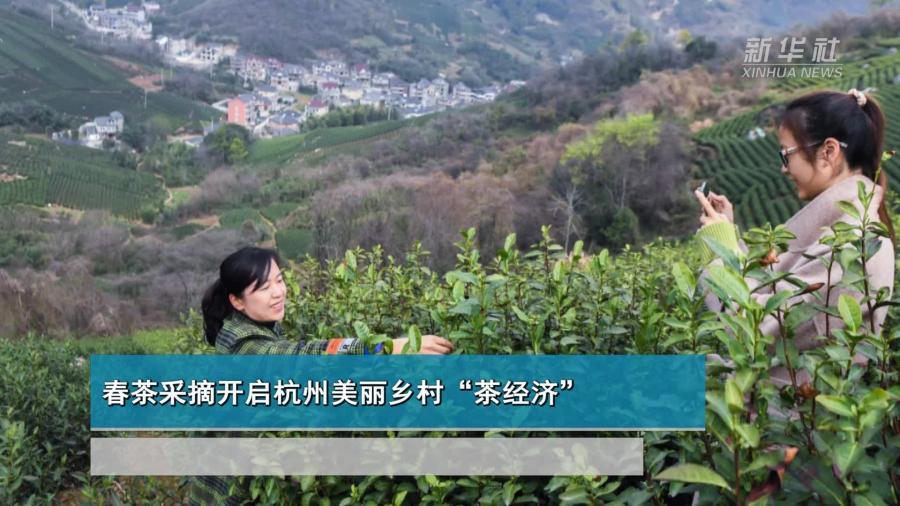 """春茶采摘开启杭州美丽乡村""""茶经济"""""""