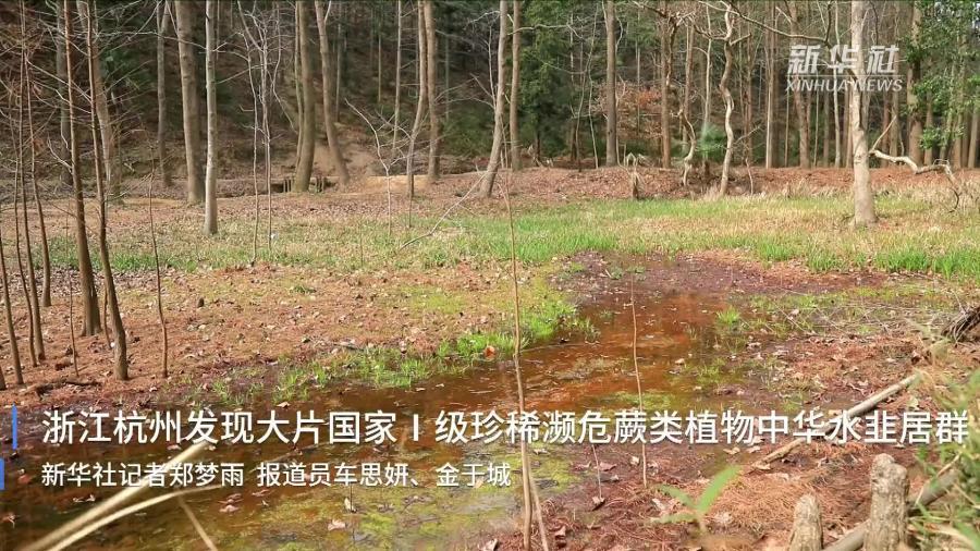 浙江杭州发现大片国家Ⅰ级珍稀濒危蕨类植物中华水韭居群